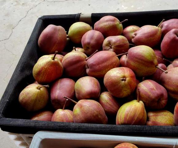 陕西红早酥梨基地、大荔红早酥梨产地批发价格