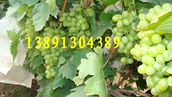 陕西青提葡萄基地、青提葡萄产地上市价格