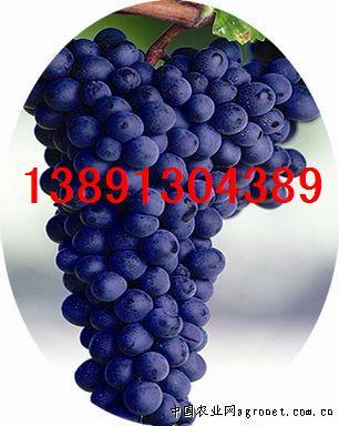 陕西夏黑葡萄基地、大荔夏黑葡萄产地上市了