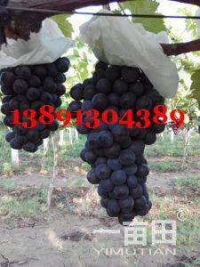 �西大荔�f���籼�葡萄�a地大量上市