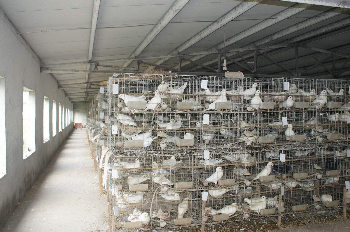 三层十二笼位肉鸽笼厂家