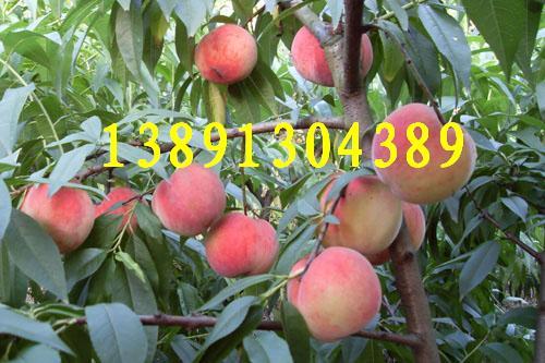 陕西新颖毛桃基地、美翠毛桃产地、620毛桃产地大量上市