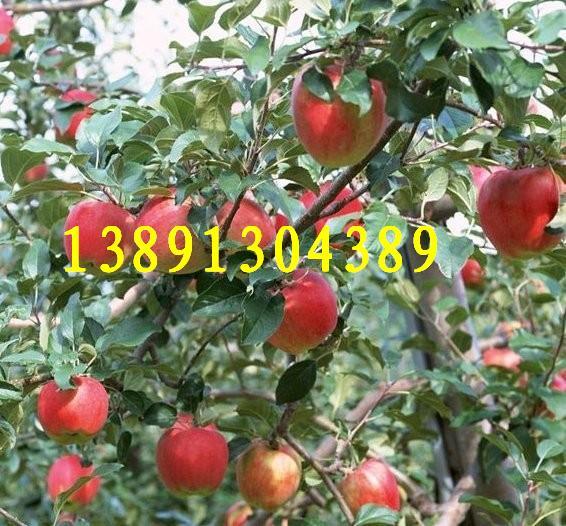 陕西秦阳苹果基地批发、嘎苹果、金世纪苹果产地大量上市