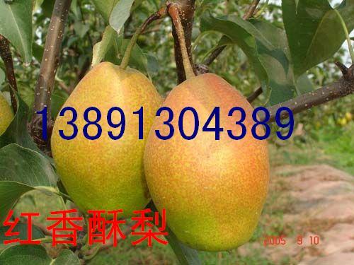 陕西红香酥梨基地、红香酥梨产地批发价格