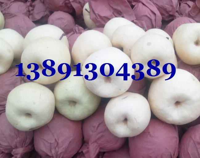 陕西酥梨基地批发、纸袋酥梨产地供应中