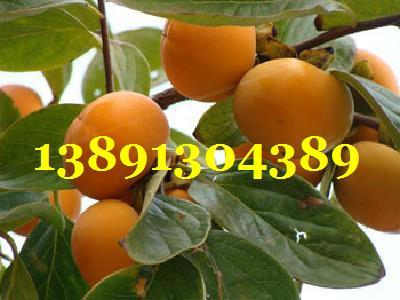 陕西甜柿子基地、次郎柿子、杨枫甜柿子产地行情