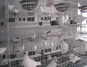 镀锌养殖场鸽笼厂家直销三层12笼
